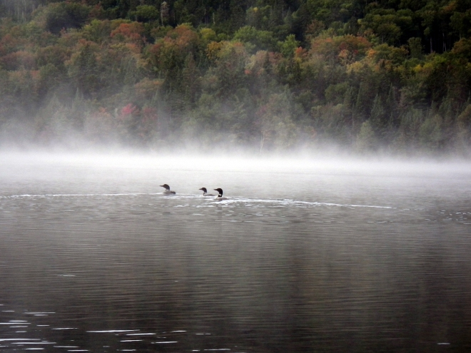 Loons in the Fog